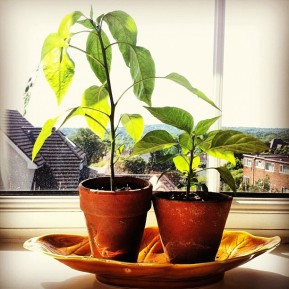 Growing chillies at home