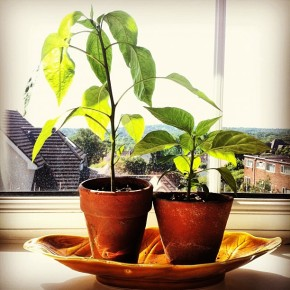 Growing chillies athome
